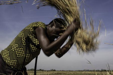 Woman threshes rice