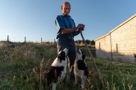Shepherd and dogs